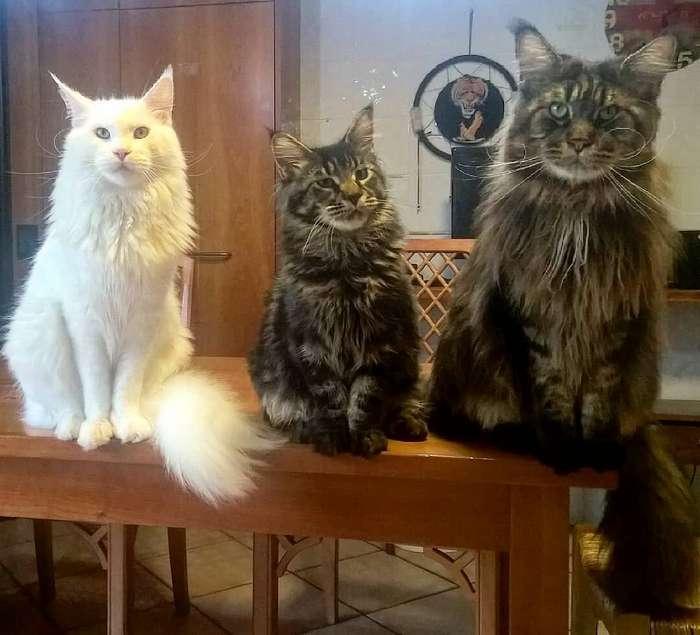 Самый длинный кот в мире попал в Книгу рекордов Гиннесса и стал звездой в Сети интересное