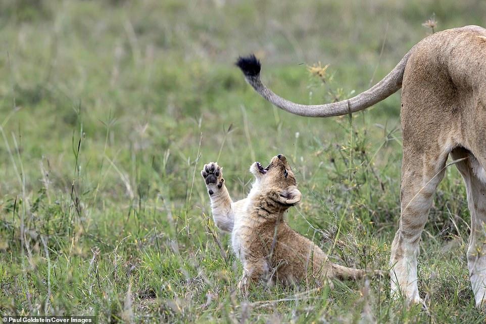 Укуси льва за хвост. Позитивные фотографии из заповедника в Кении животные
