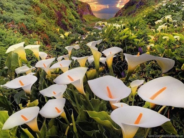 На побережье Тихого океана есть волшебное место. Называется оно — Долина диких калл